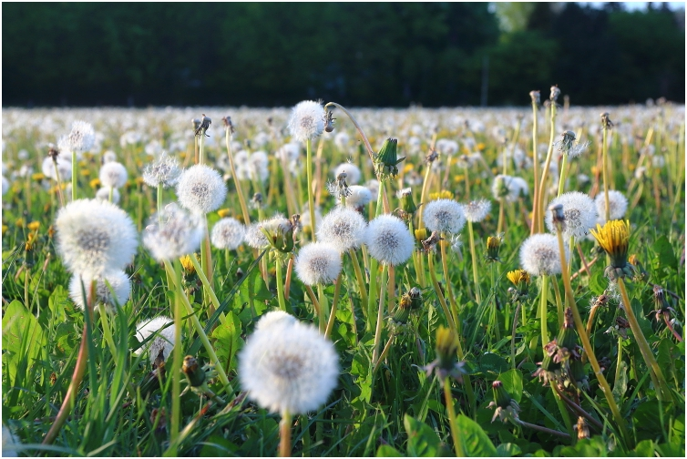 dandelionfield May 2020