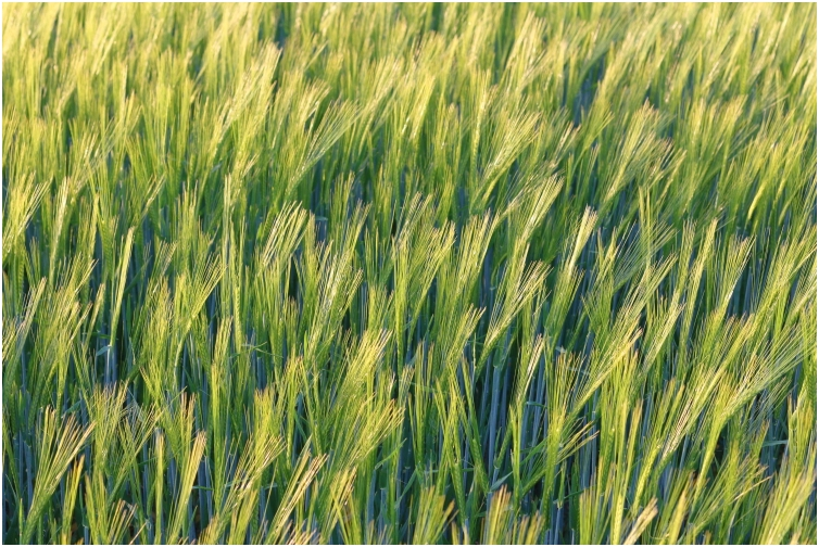 barley in the evening sun May 2020